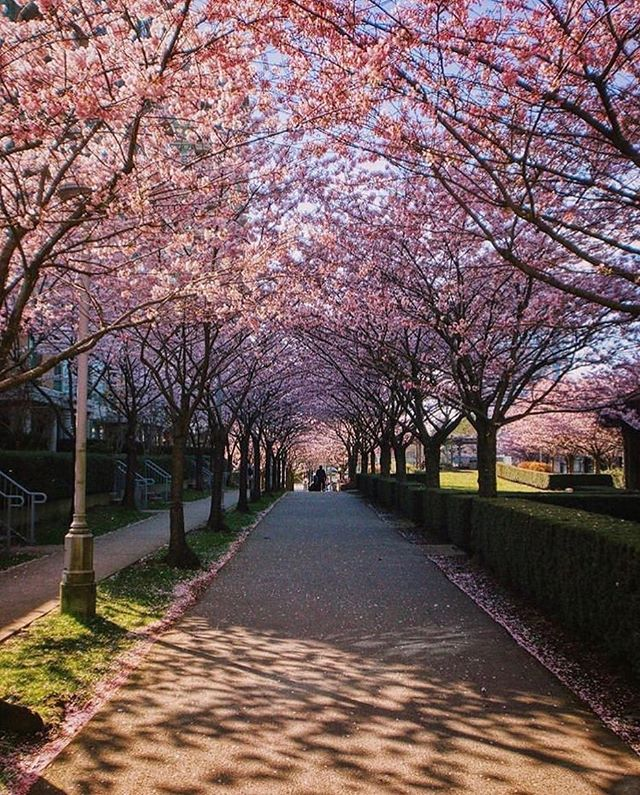 @cherryblossomfestyvr kicks off tomorrow at noon with a Cherry Jam Downtown Concert under Burrard Station's famed cherry blossom canopy. Festivities will continue until April 28 at various locations around Vancouver! 📷: @backyy