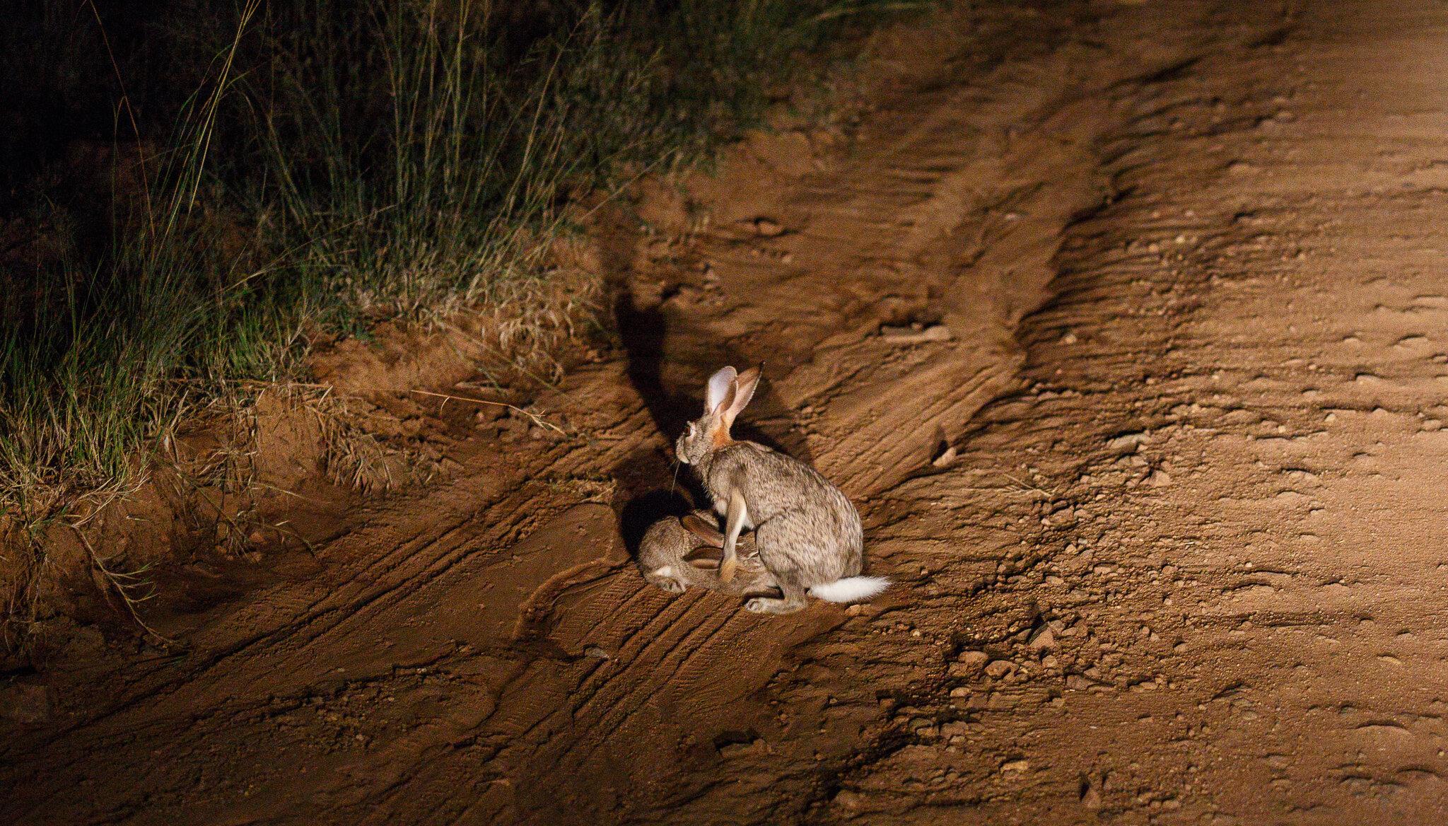 Suckling hare.jpg