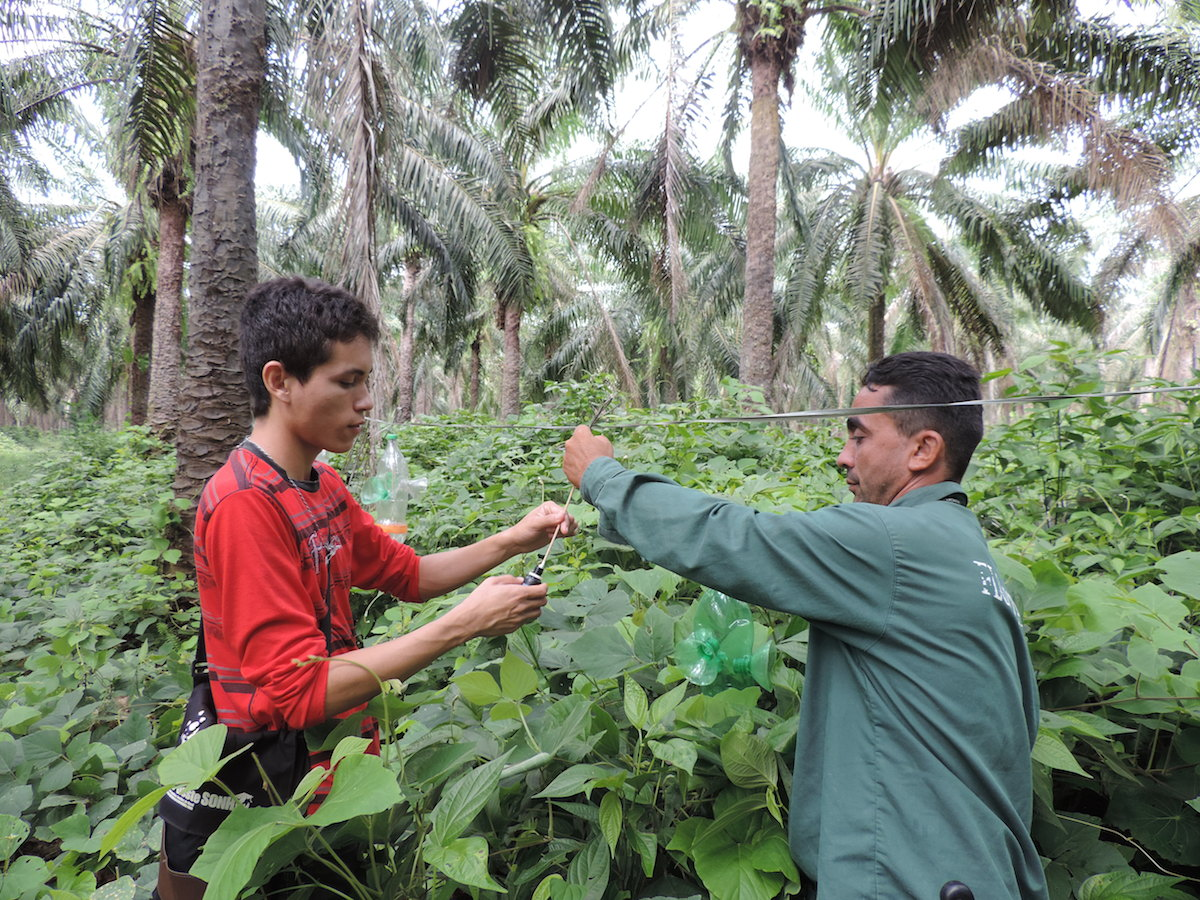 Adelsonm a graduate student and Joel, a forest guard, help set up scent traps for orchid bees inside oil palm plantations. Photo by Thaline Brito