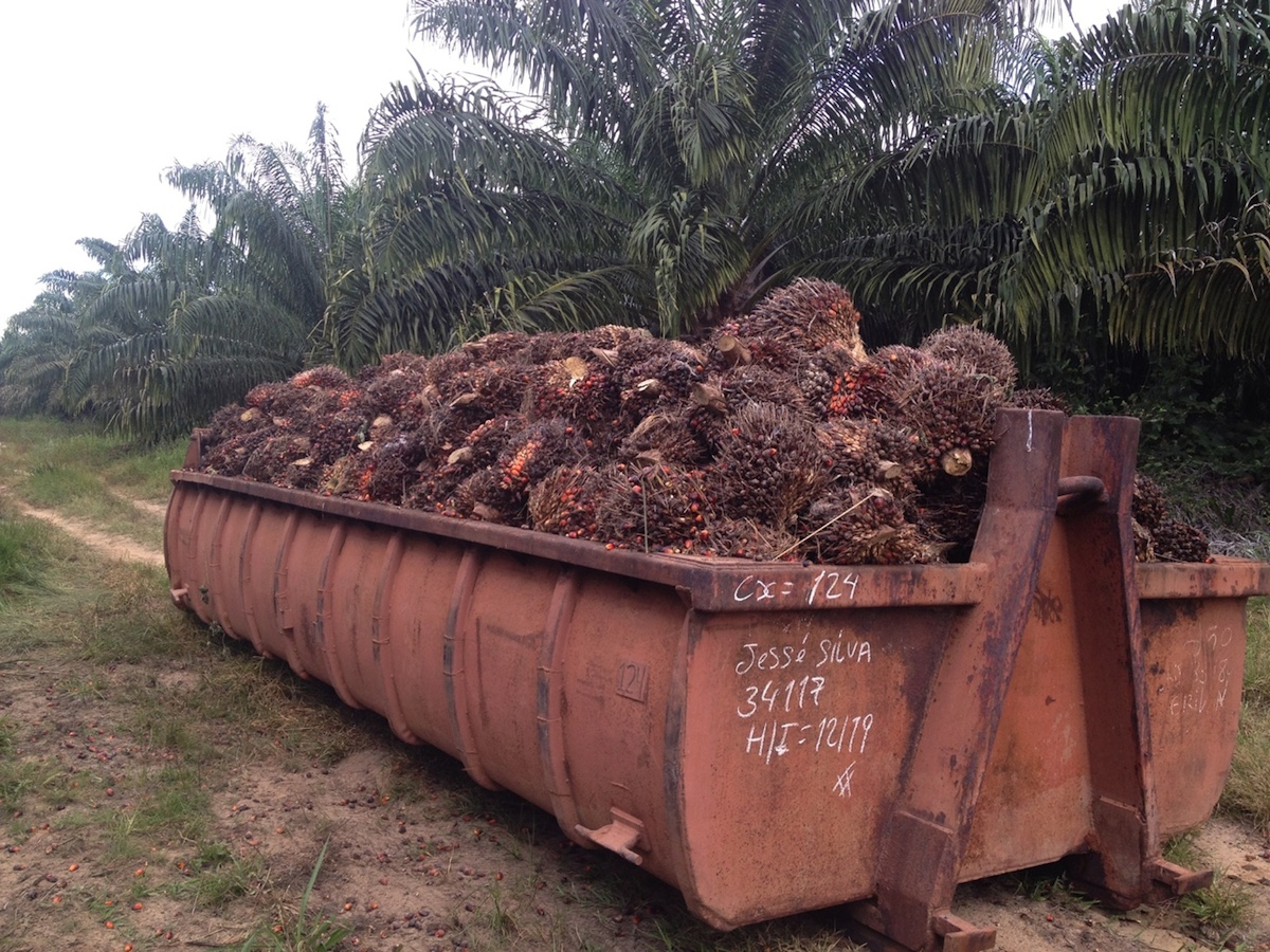 Recently harvested oil palm fruit from which palm oil will be produced. Photo by Colin Phifer