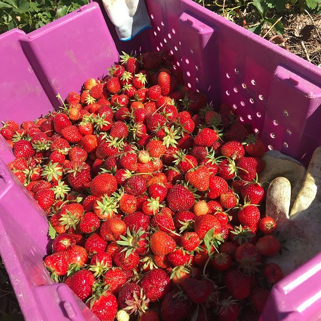 Strawberry season has just come. We will have Strawberry U -pick from 13:30 to 16:00 on June 23(Sun) Reservation is not required to come. No entrance fees,bring your own container. Please come by 15:00, since we close 16:00 . Also a Gobo is on sale and a Garlic scape is available. All organically grown produces.  There is a pottery gallery opened on the Sunday.  Bring children with your own responsibility please.  See you then.