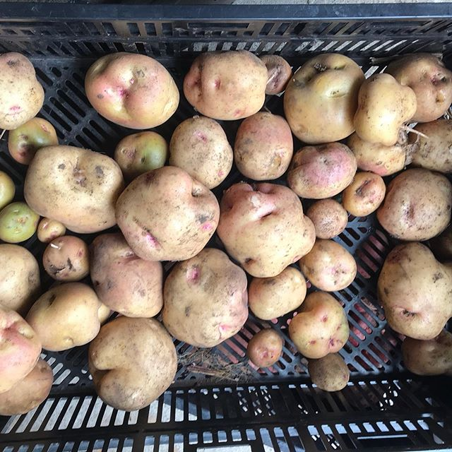 We are planning to have a U-dig Potato again this Saturday, from 10:00 to 2:00pm on Aug.17. Other veggies in photos are also available. No shovel required、but please bring your own bag. Reserve: okusa.hiro@gmail.com
