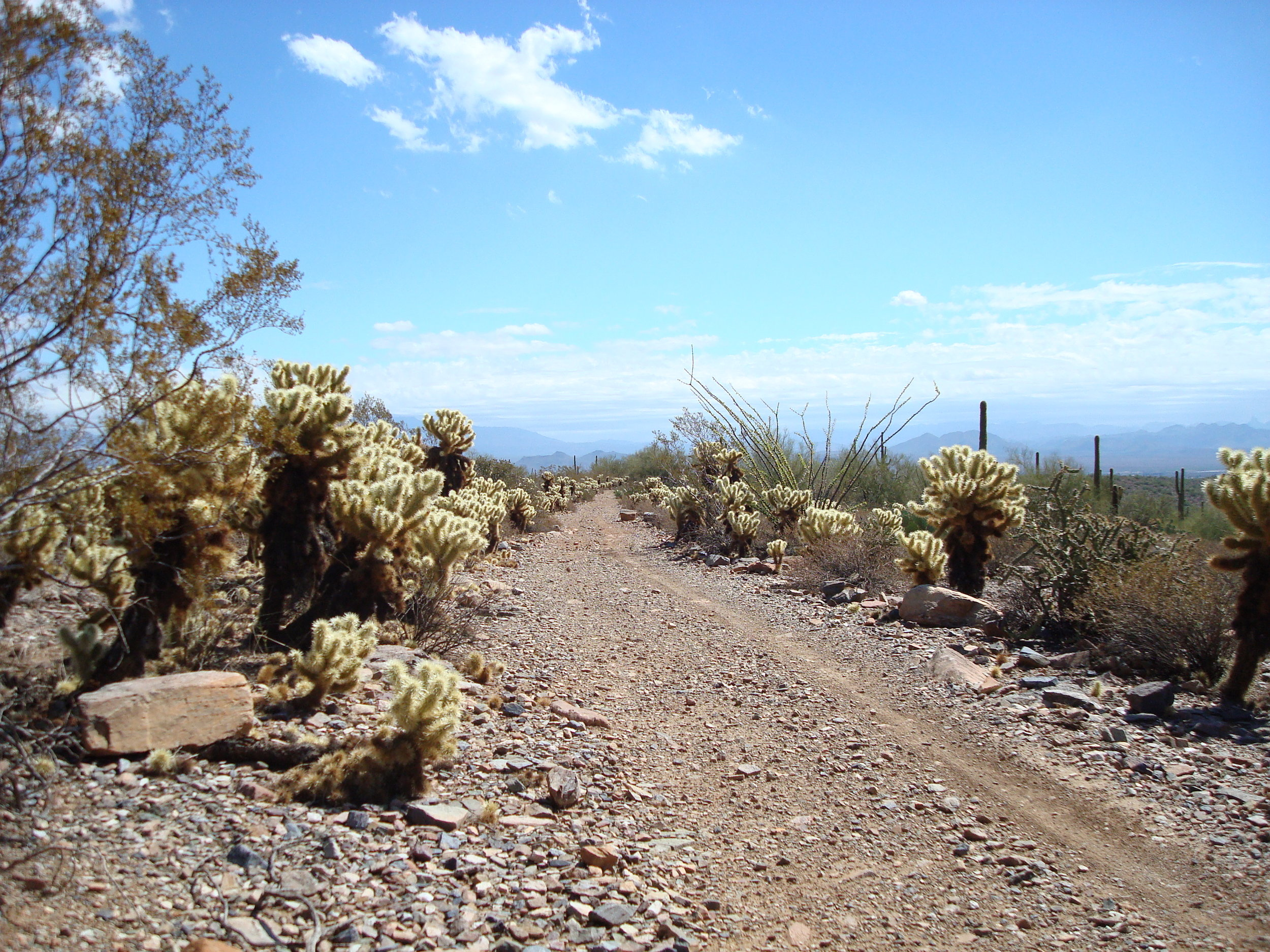 A natural alley forms through jumping cholla cactus.