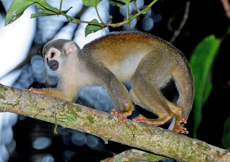 WS Ecuador spider monkey.jpg