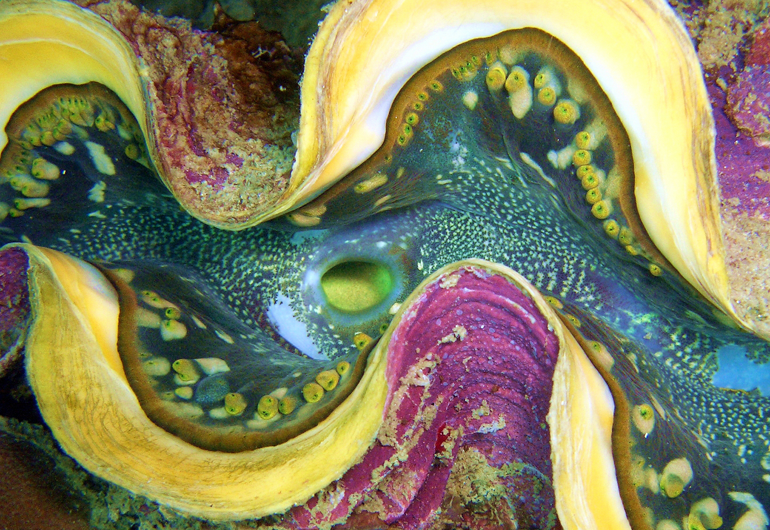 Thailand Indo-Pacific Giant Clam.jpg