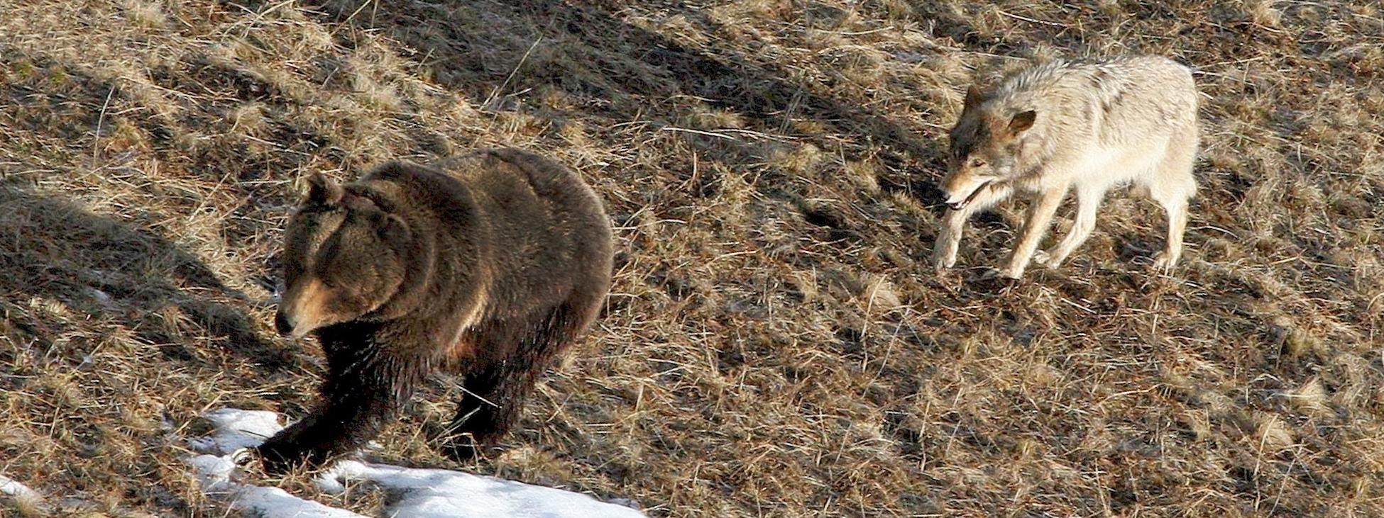 WS Yellowstone wolf and bear-519226.jpg