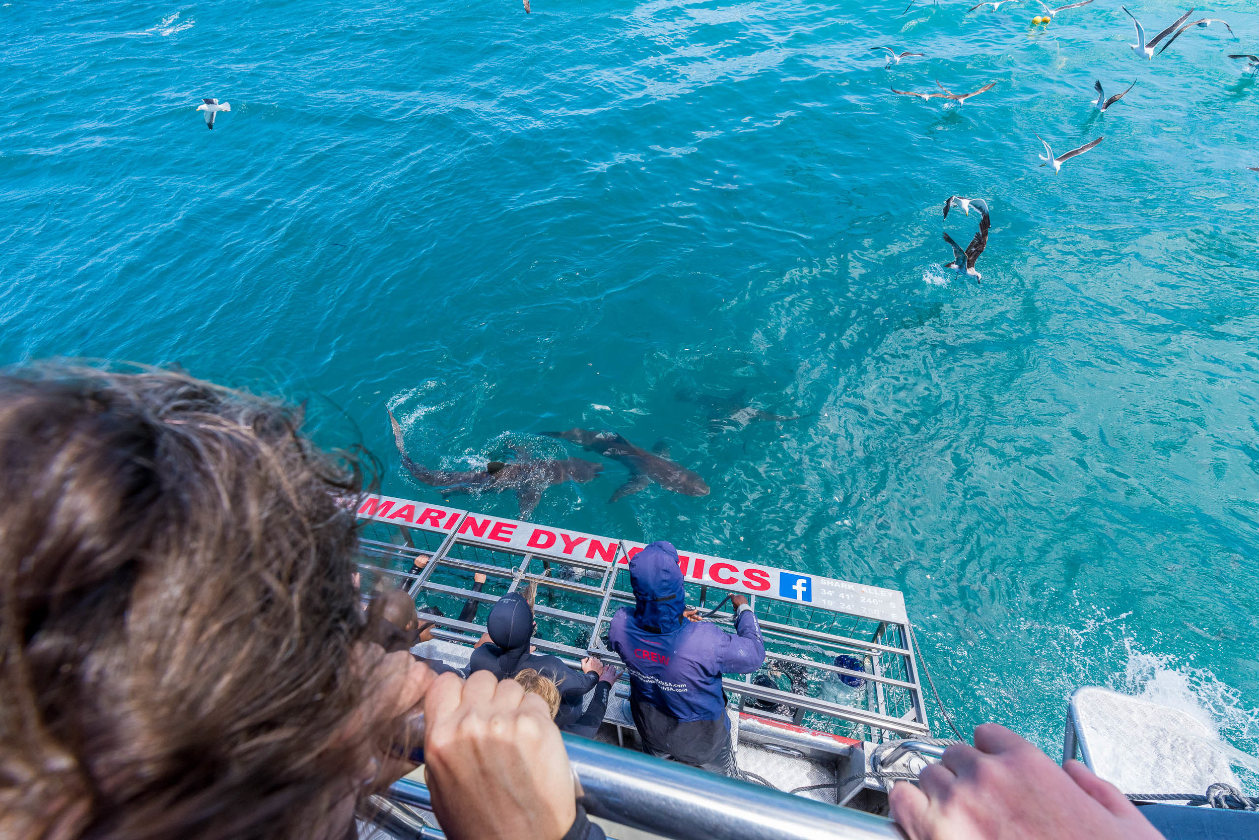 A trio of Copper Sharks gathers near the Marine Dynamics cage during an outing in Gansbaai, South Africa.