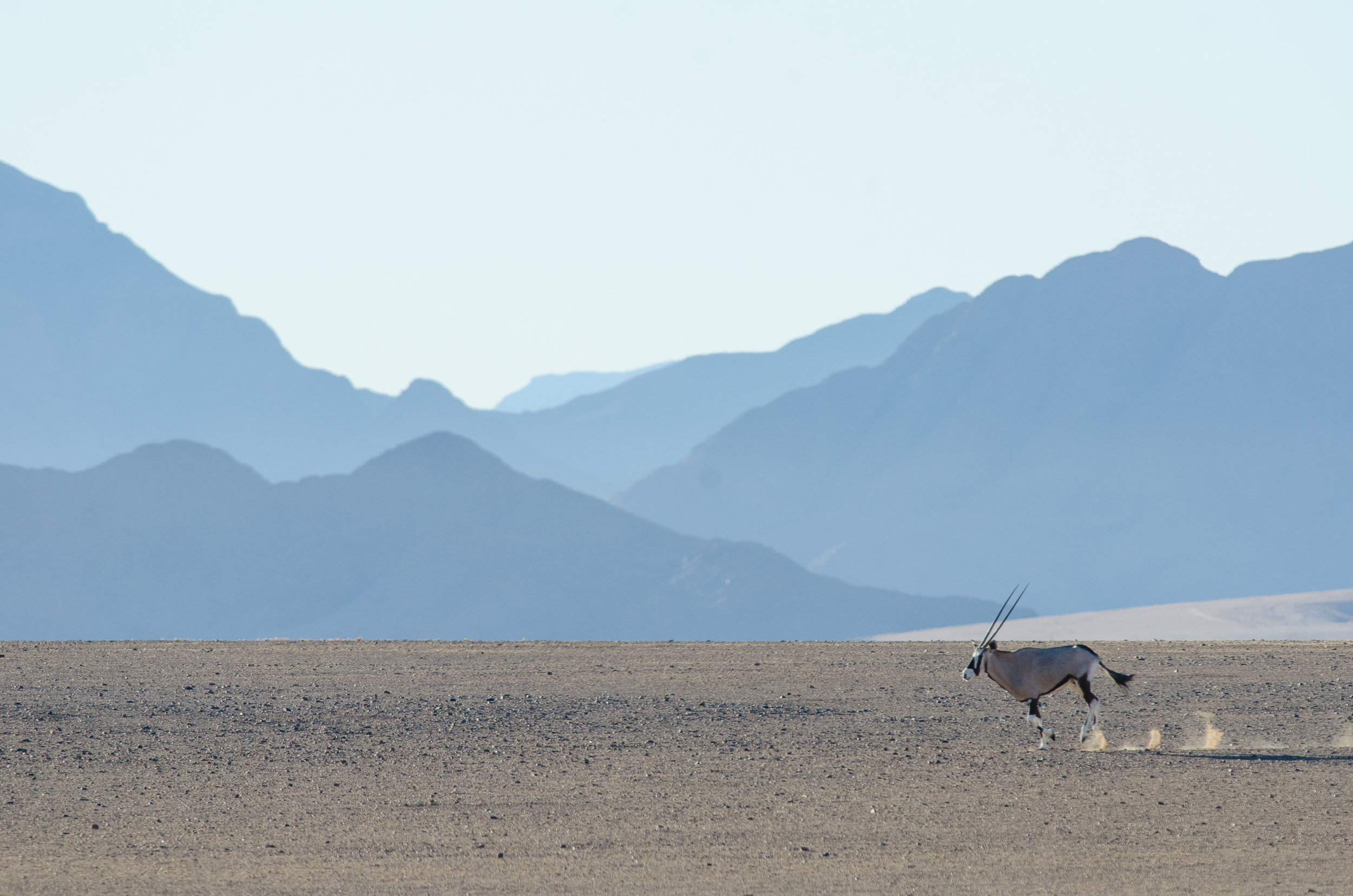Oryx (Gemsbok)