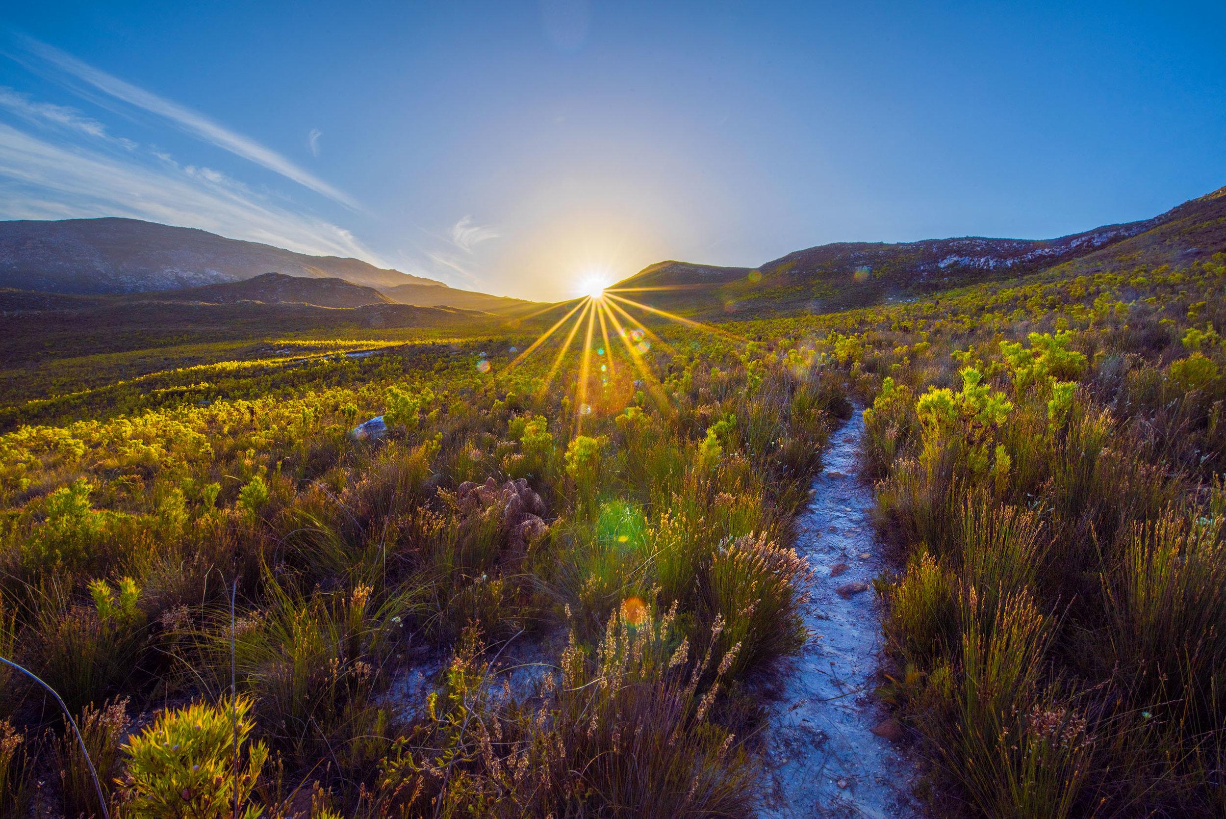 The fynbos, near Botrivier, South Africa