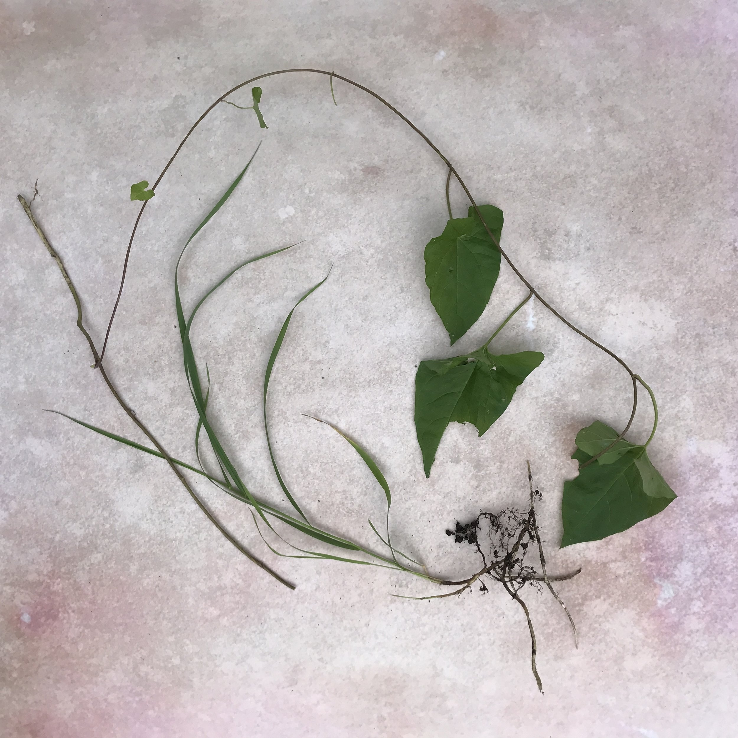 Bindweed, seen here with its best friend, couch grass