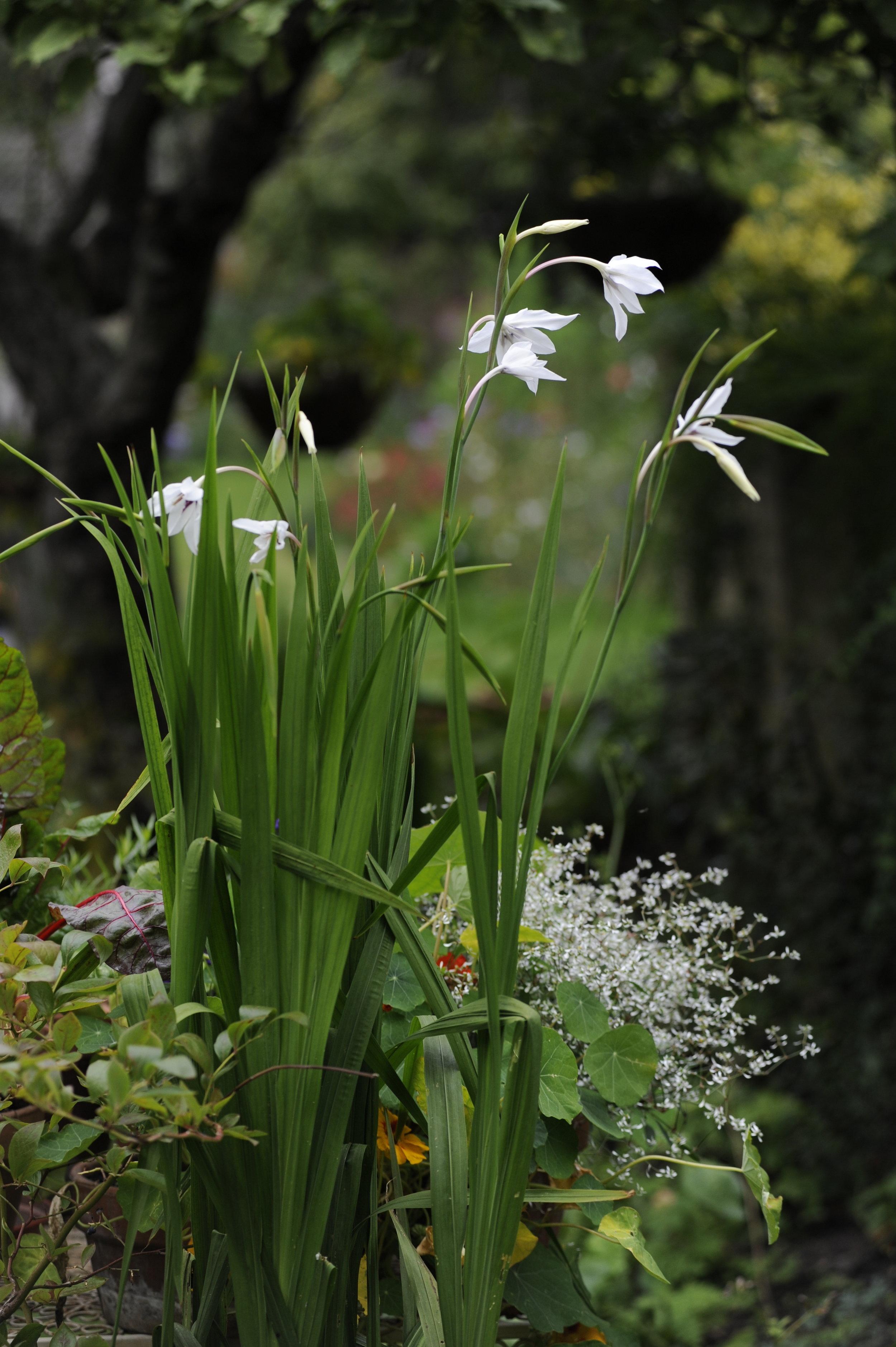 Beauteous  Gladiolus callanthus