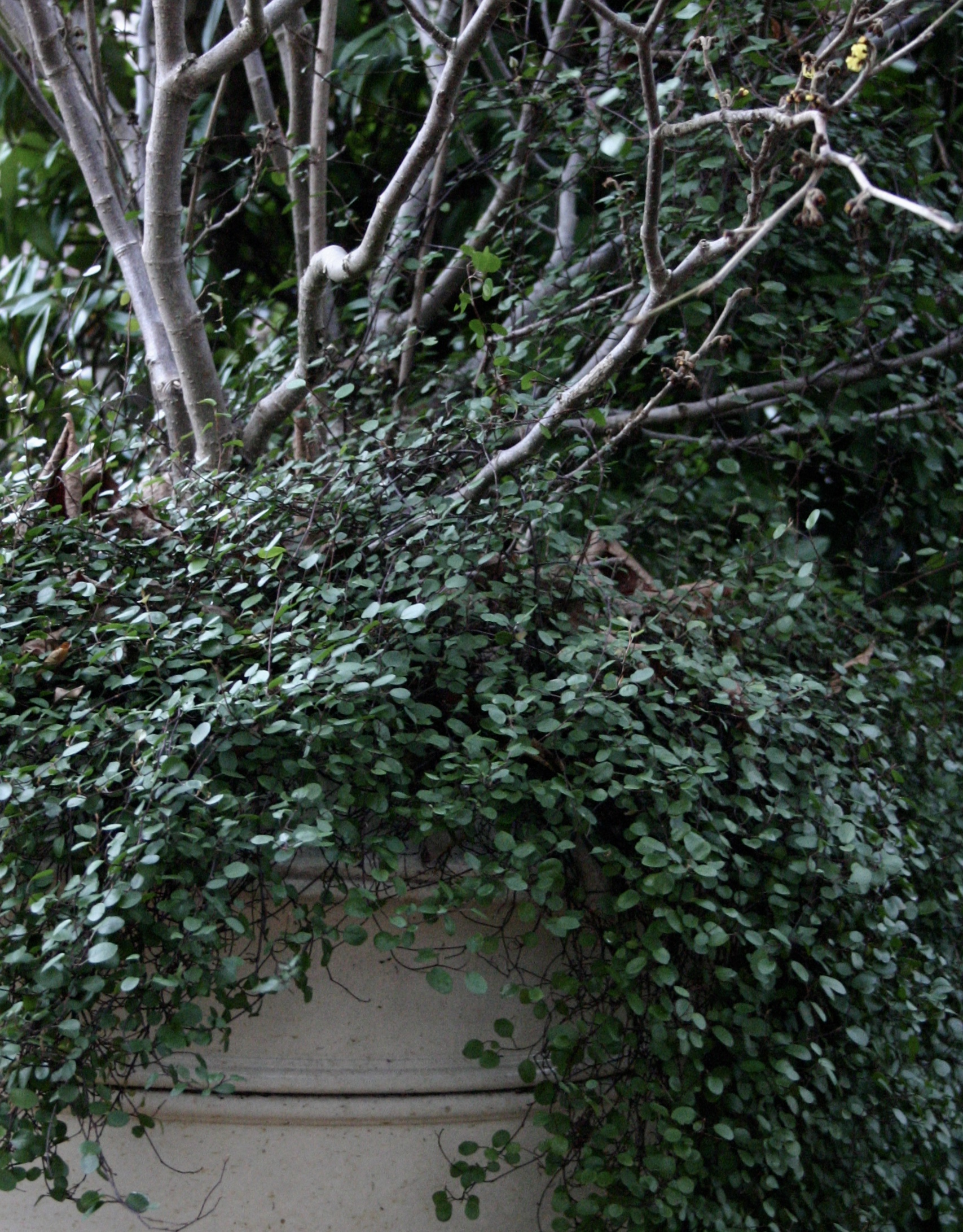 Bare deciduous shrubs in pots? No problem with cascading muehlenbeckia
