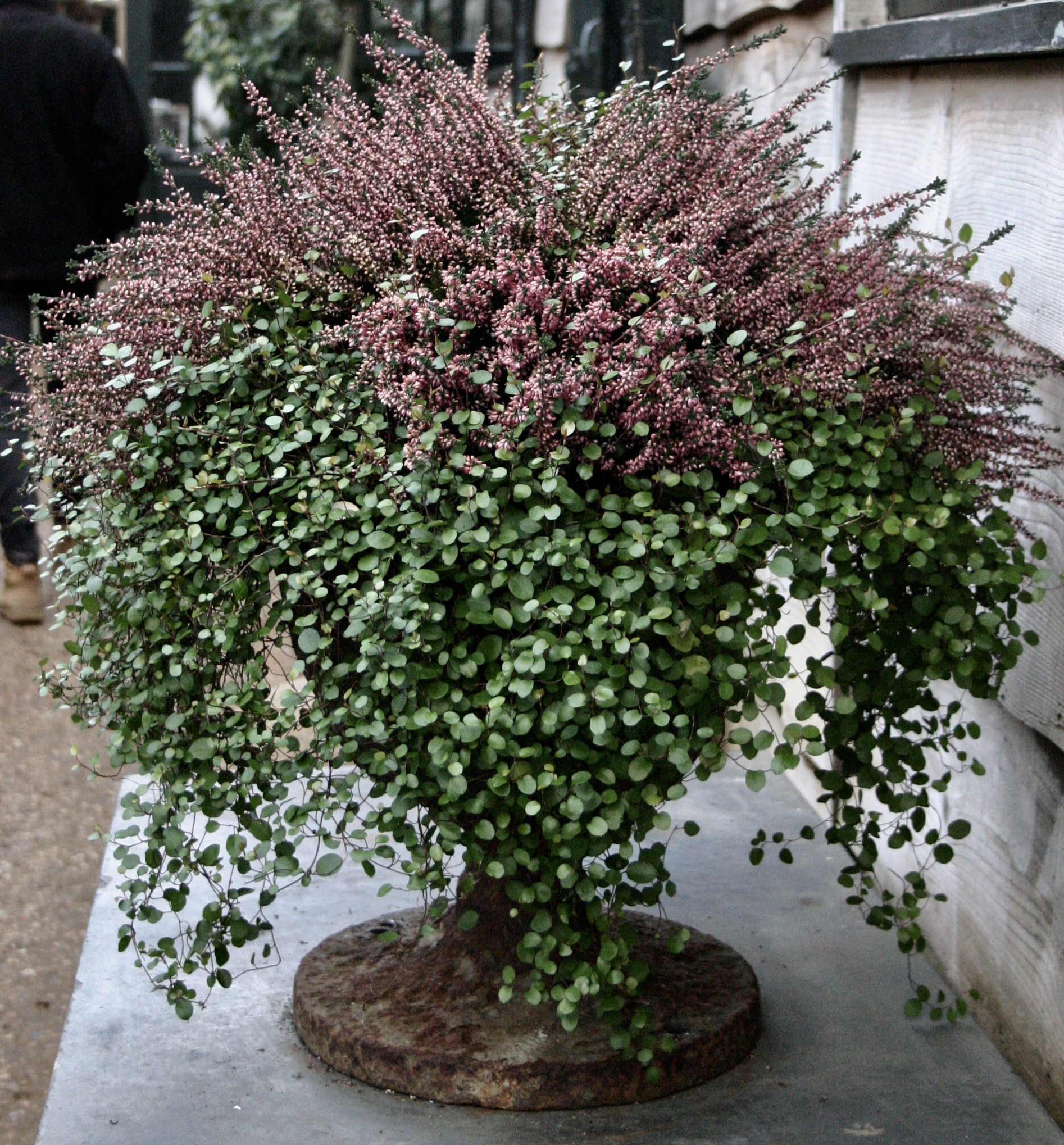 Suddenly heather is sexy…because muehlenbeckia (and also an URN)