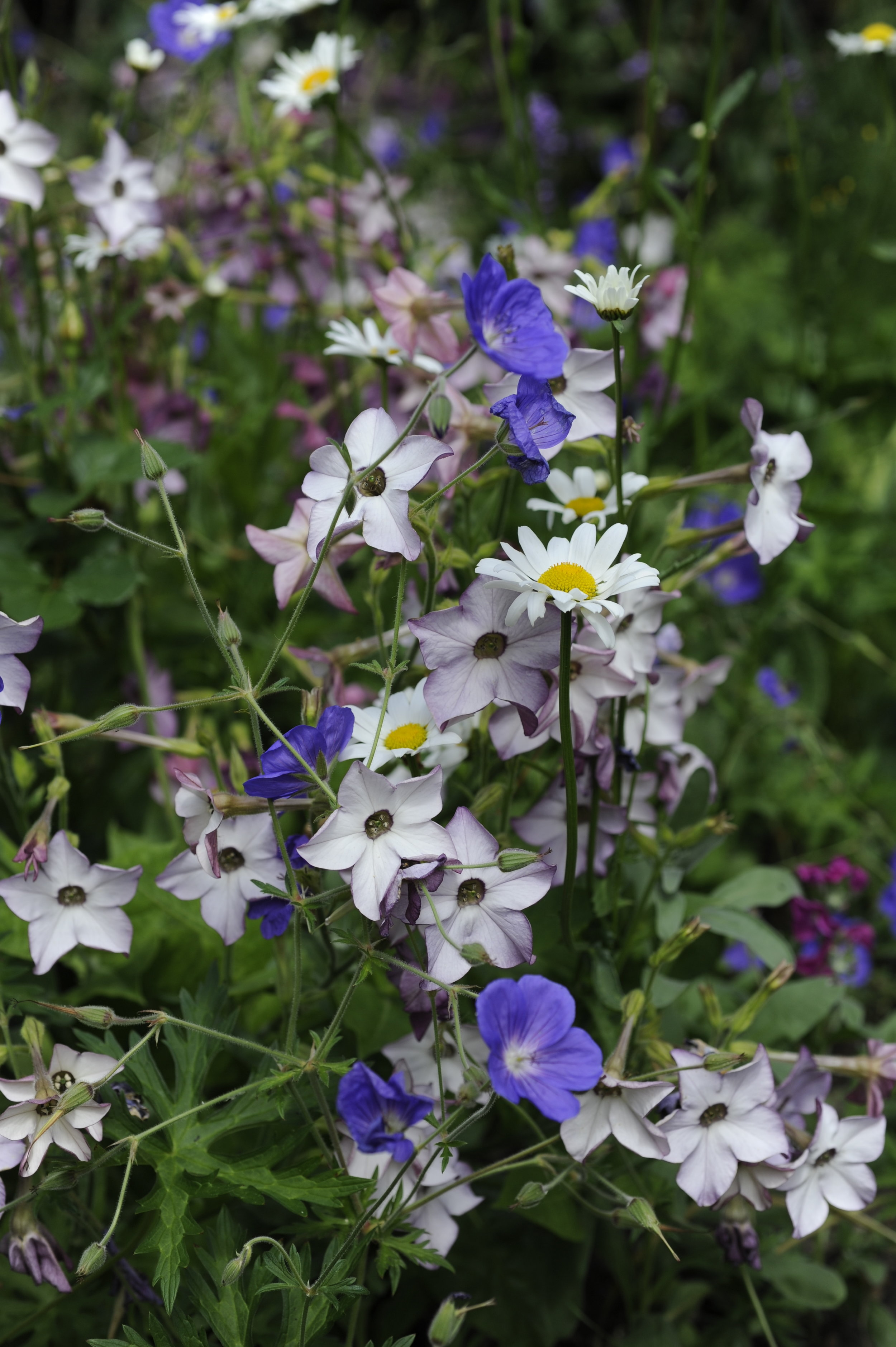 Nicotiana with geranium in an old border of mine… photo by Jill Mead