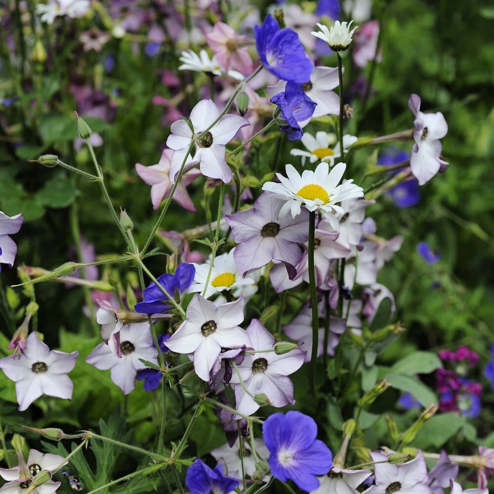 Nicotiana alata in the border