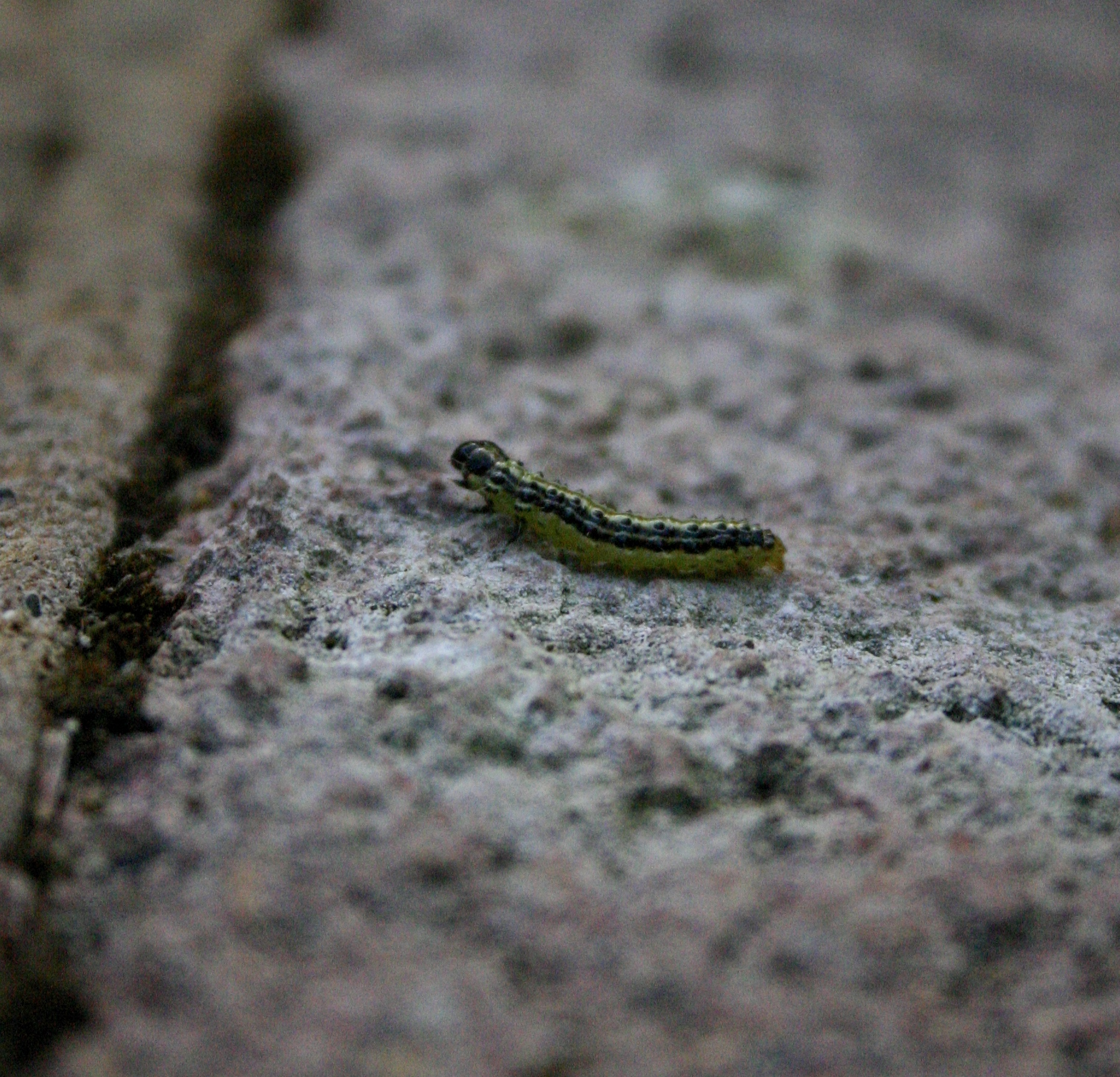 Cydalima perspectalis (box tree caterpillar)