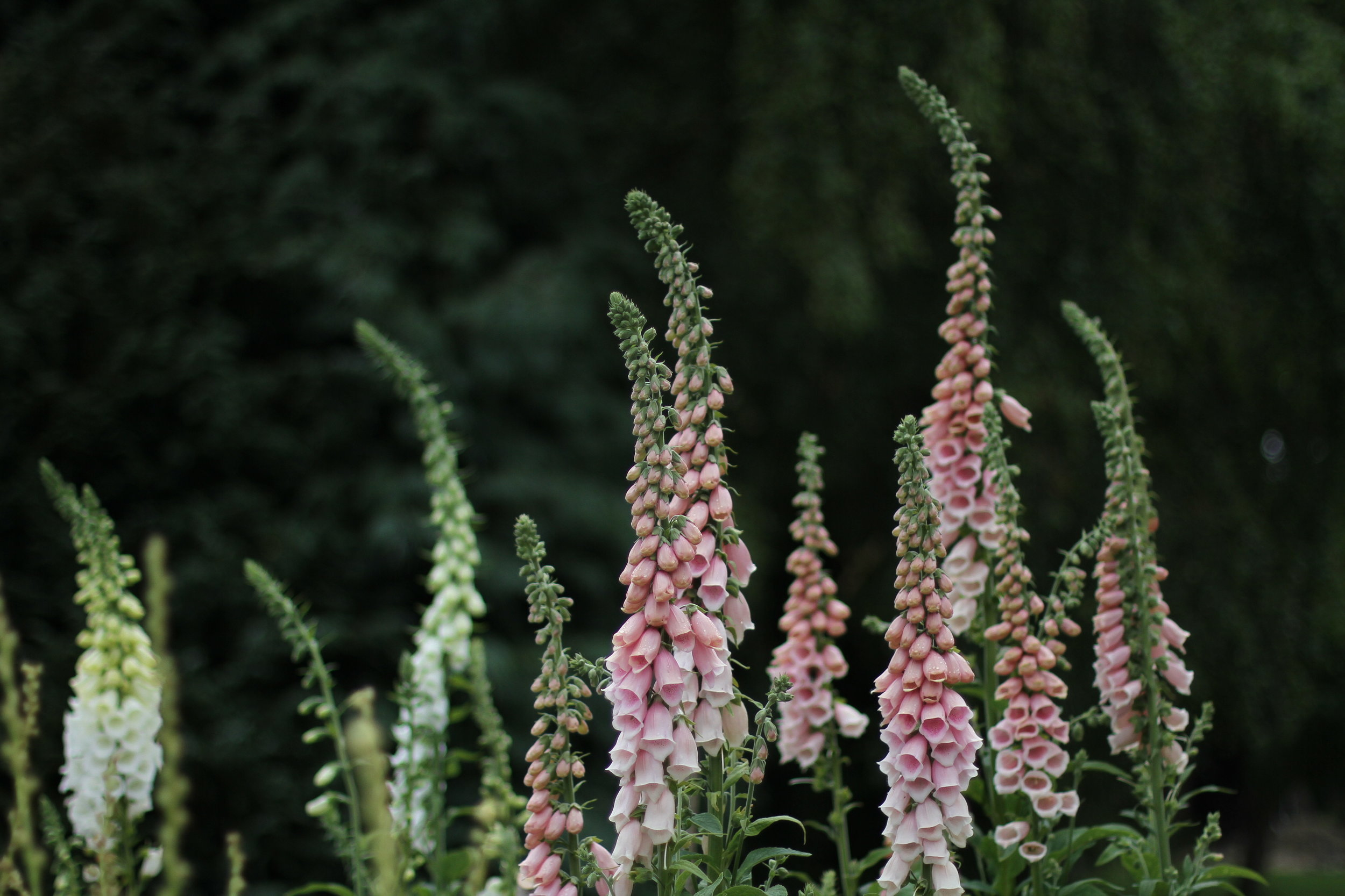 Foxgloves, photograph by Clare Nolan from her book In Bloom