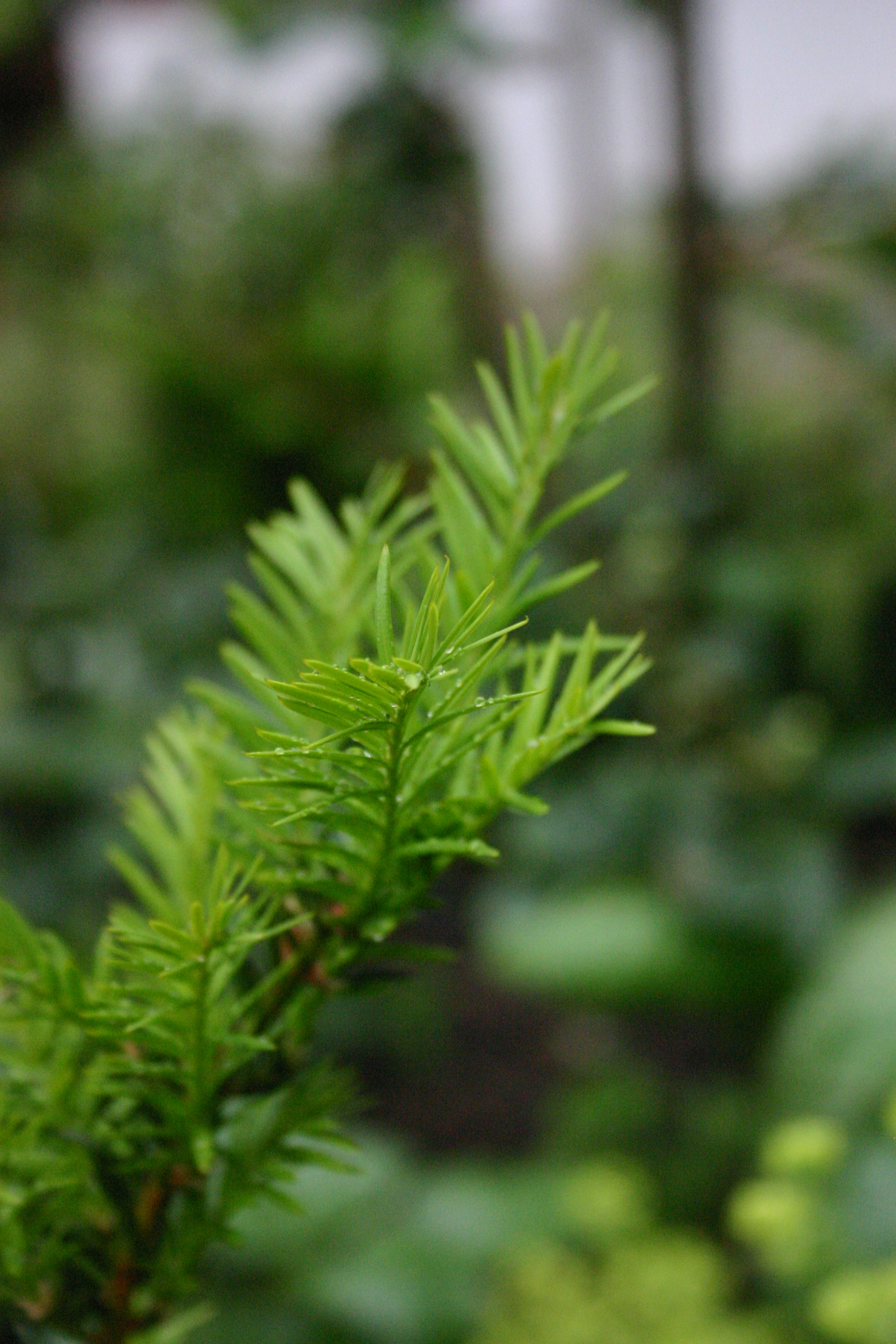 new growth on yew