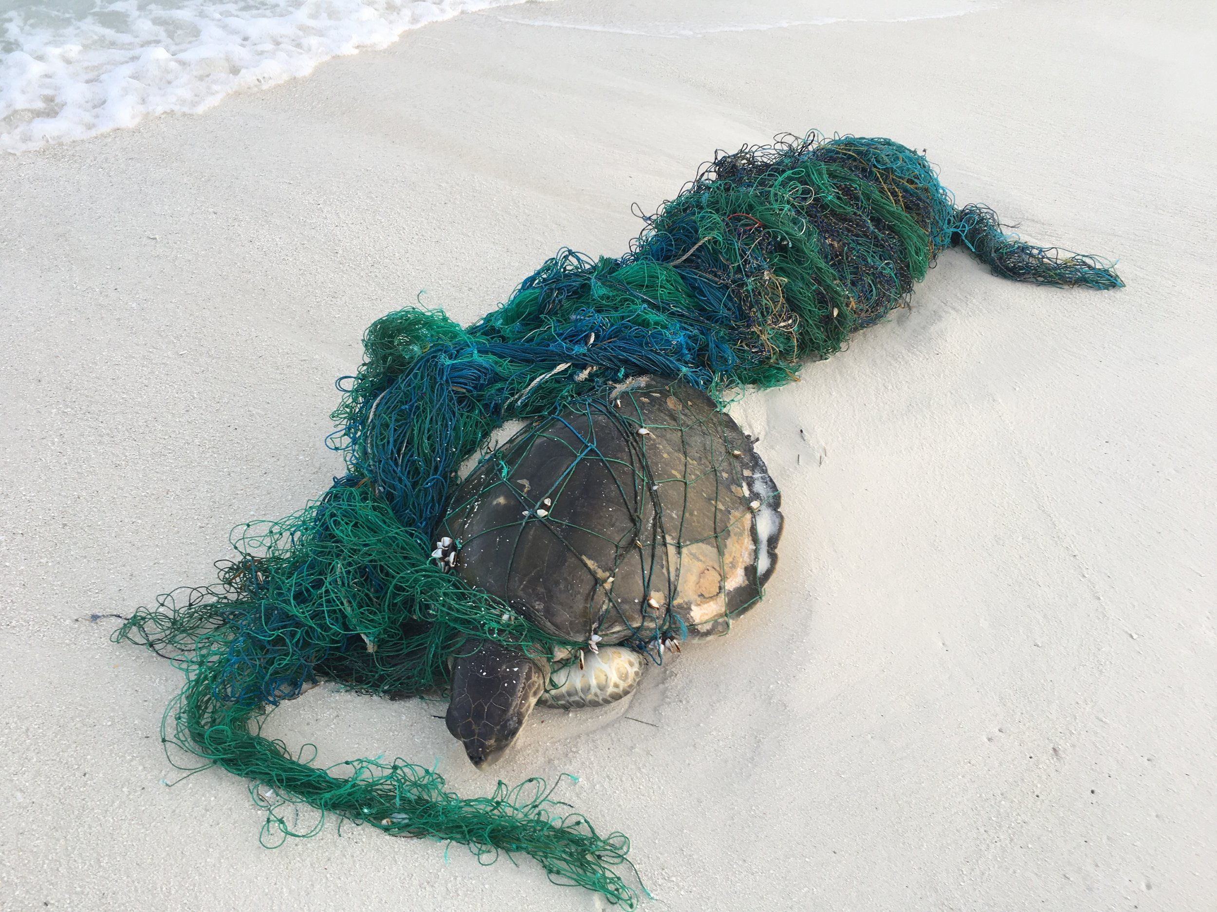 Olive Ridley turtle entangled in ghost fishing gear (fishing gear lost and discarded at sea)