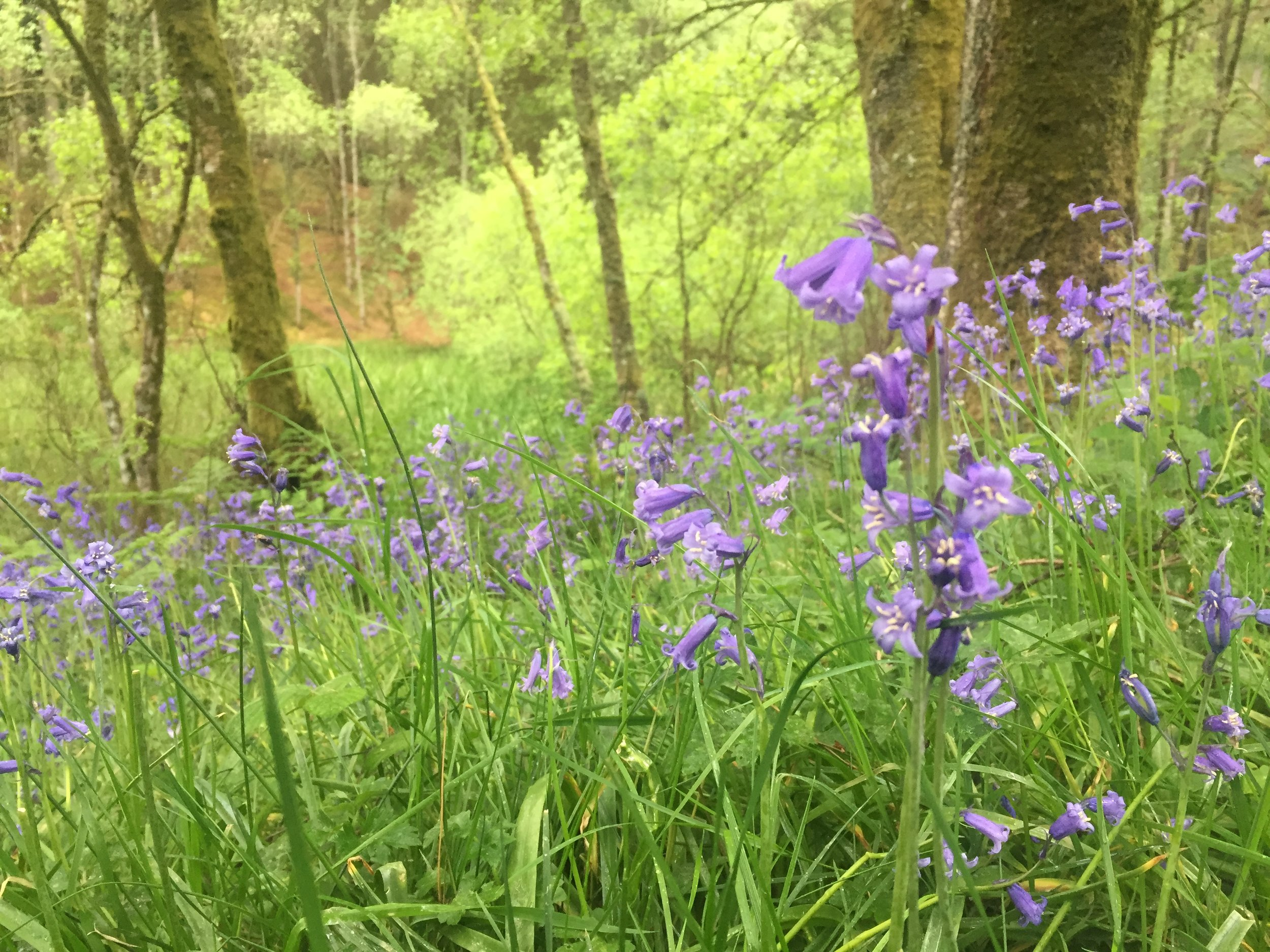 bluebells conic hill 1