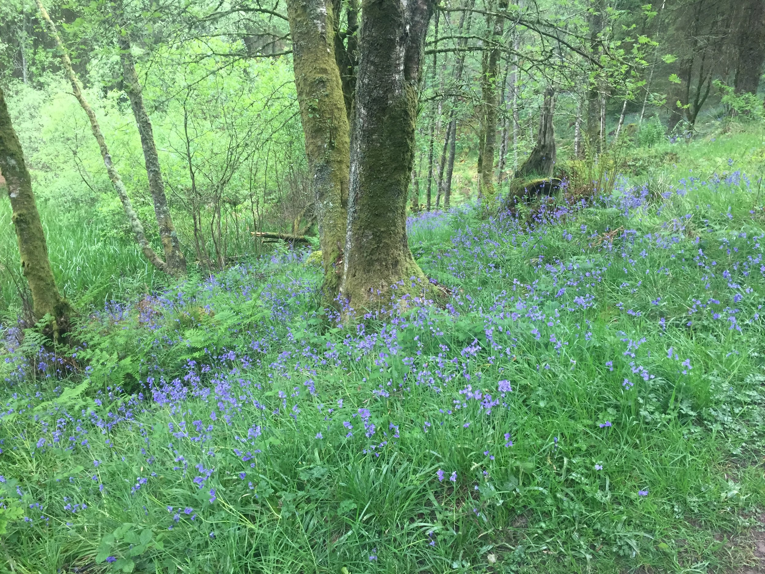 bluebells conic hill