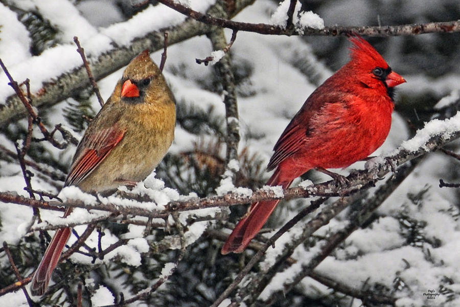 wintercardinal.jpg