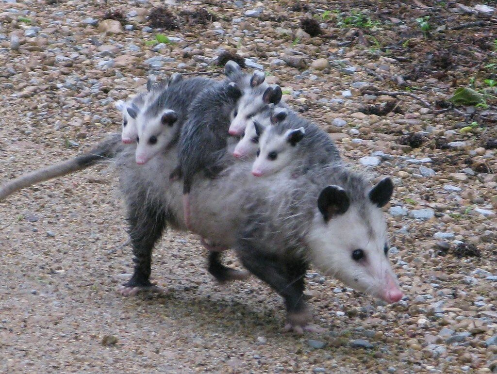 Springtime Babies Opossums Porter County Parks And Recreation
