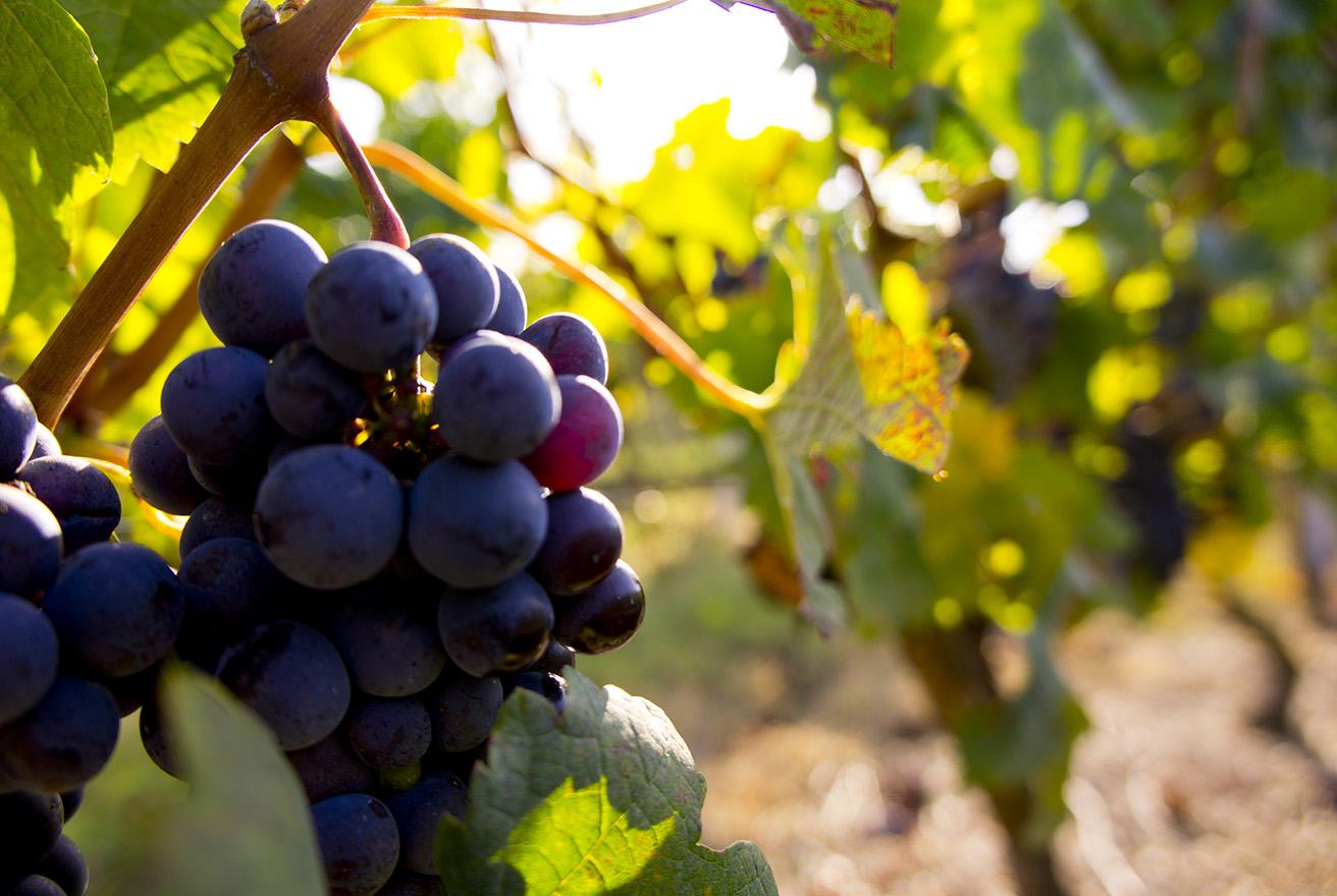 Copy of Saint-Émilion Grapes