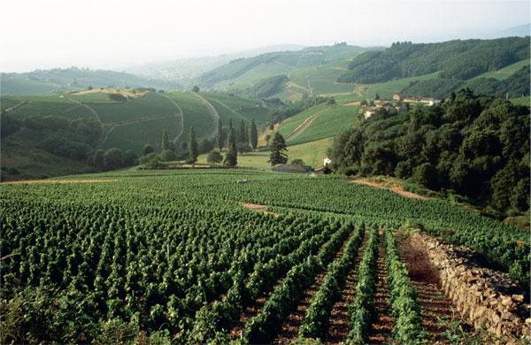 Beaujolais 1-VINEYARD.jpg