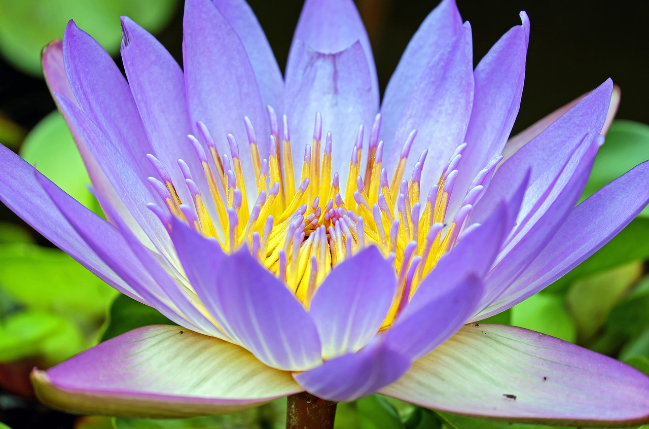 Purple Water Lily_1280.jpg