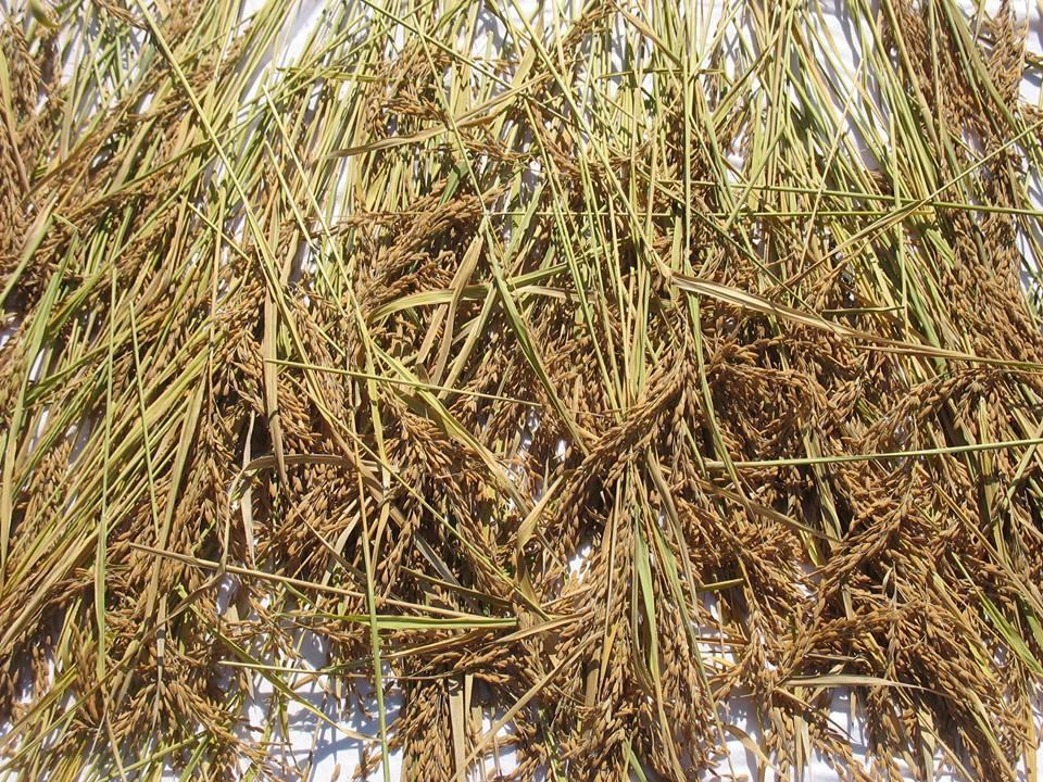 Rice Harvested.jpg