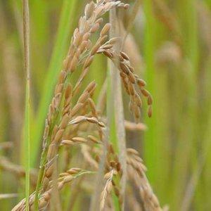 A cpuple weeks before harvest