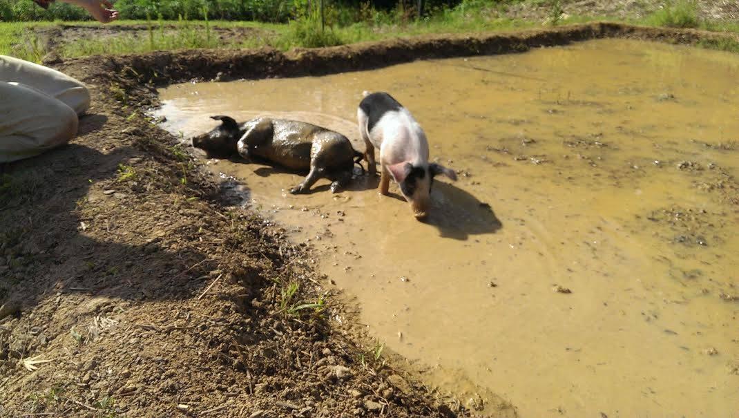 Piglets gleying the paddies
