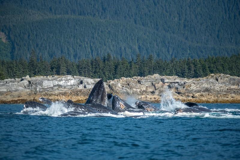 Humpback whales bubble-net feeding, Juneau, AK. photo credit: Matt Koller