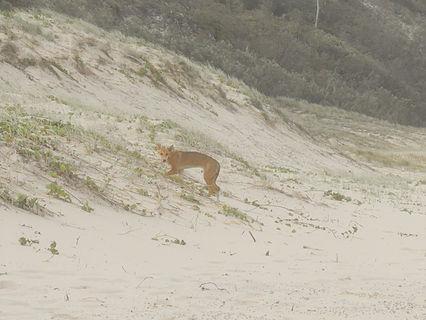 Dingos on Fraser Island!