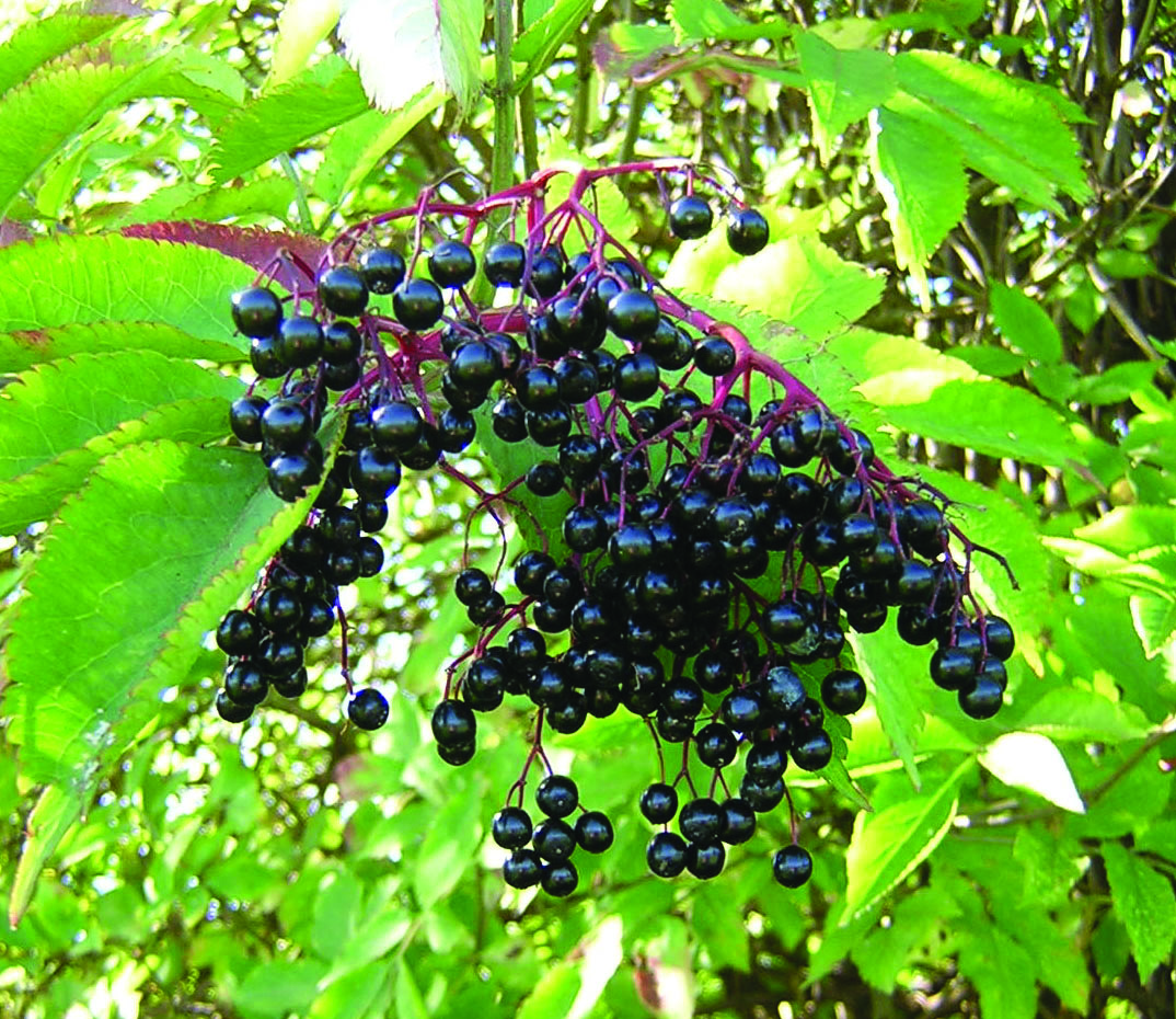 elderberry-delight-1326492.jpg