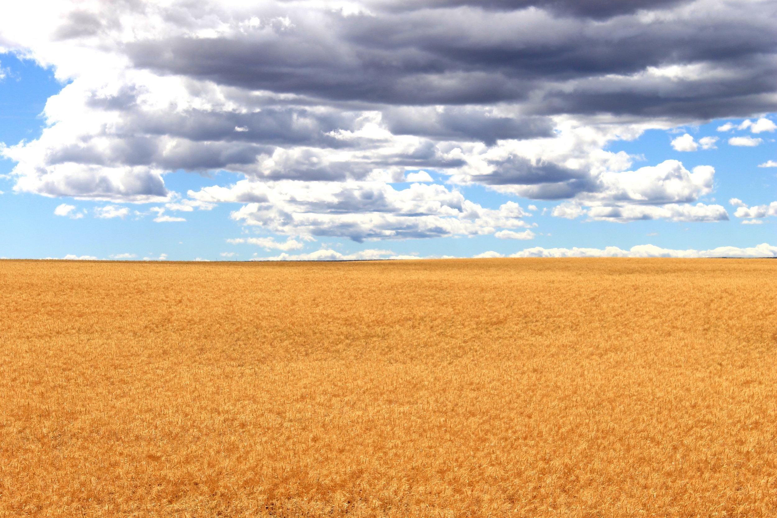 7 JUL 2014-06-29 Wheat field near Mabton.jpg