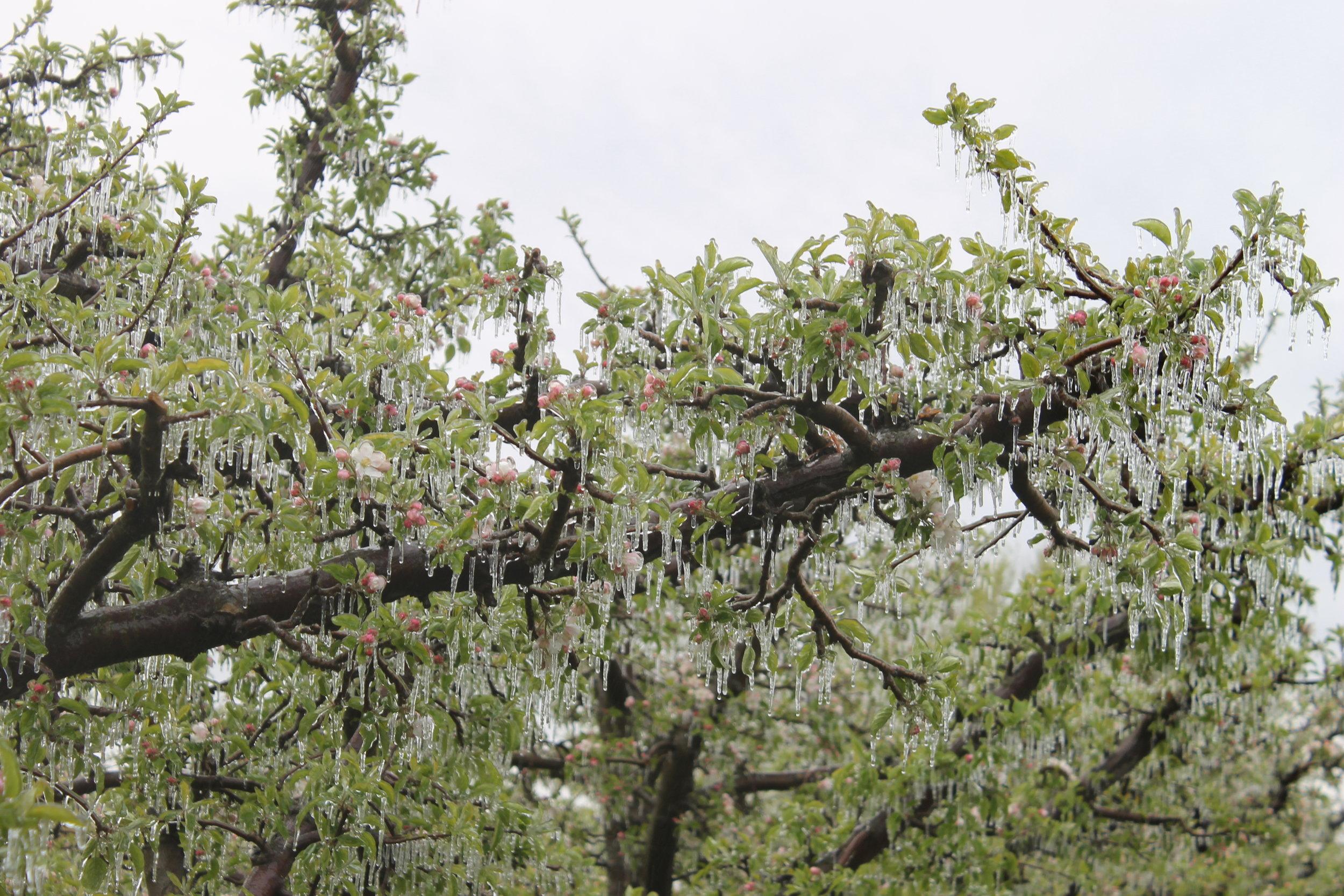 2015-04-04 Frozen Orchard (1).jpg