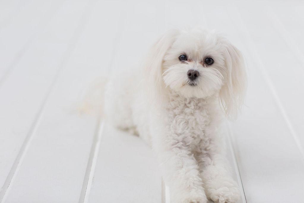 Olaf official canine mascot.jpg