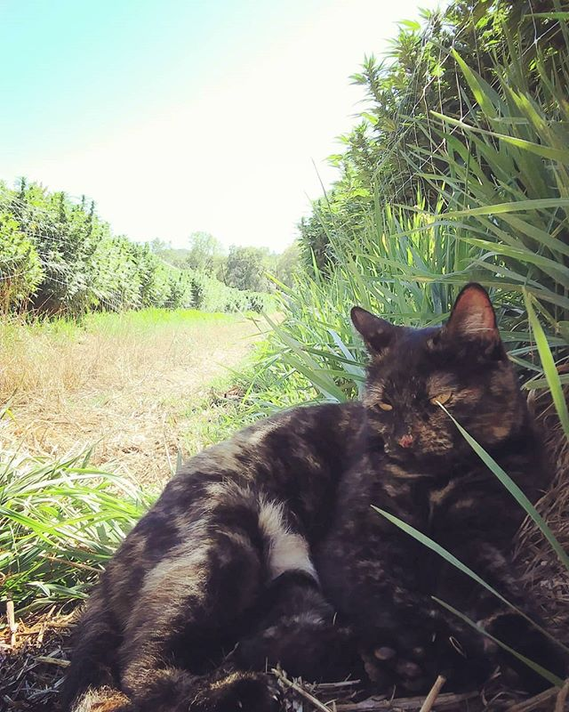 | from Rolling Cascades Farm Love having Miss Frida hang out with us in the garden. That's of course when she isn't chasing grasshoppers. | | ITEM 9 | | #ITEM9 from #rollingcascadesfarm #oregon #farm #kitty #hangingout #catching #grasshoppers #familyownedfarm 👩‍🌾👨‍🌾#grownwithlove 💚 #knowyourgrower #supportlocal #terroircannabis #pacificnorthwest #permaculture ♻️ #soilfoodweb #livingsoil #nativesoil #allnatural #ecofarm #environmentallyresponsible #trulysustainable #sustainablefarming #progressivegardening #southernoregonsungrown #sungrown