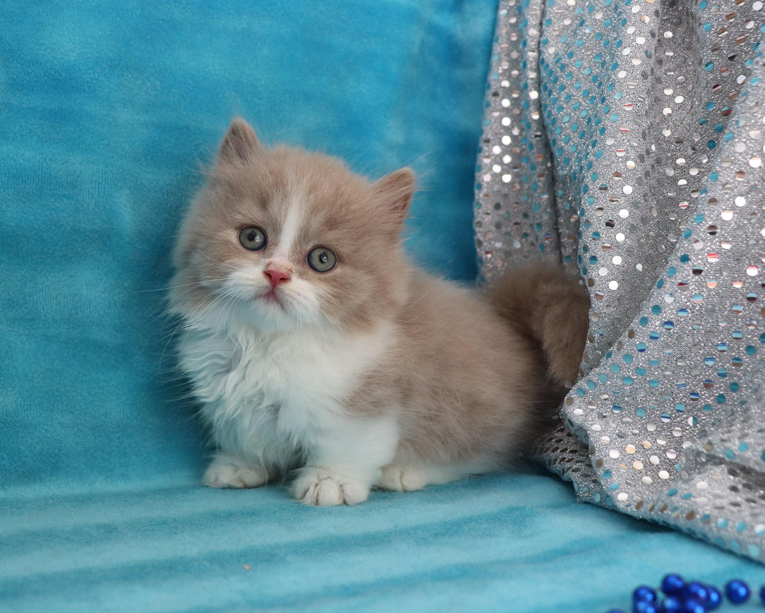Minuet Kittens Cattery
