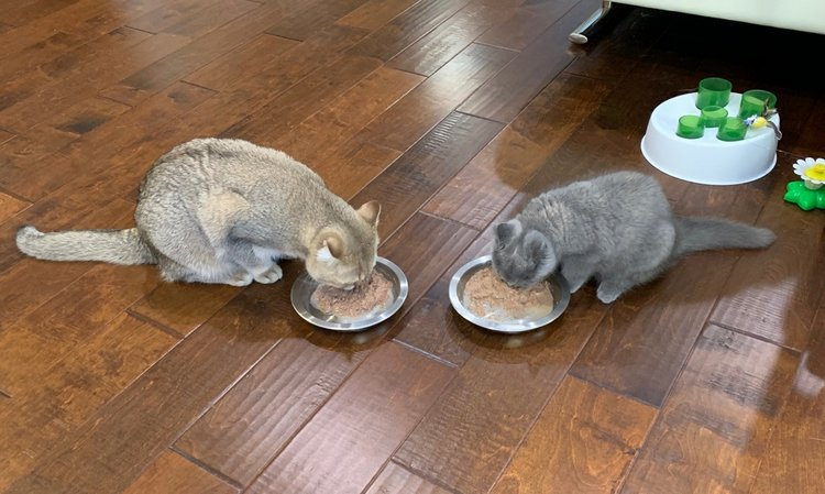 Toro (golden British Shorthair), and Sanma (blue tortie British Shorthair), sharing a meal in Santa Clara, CA