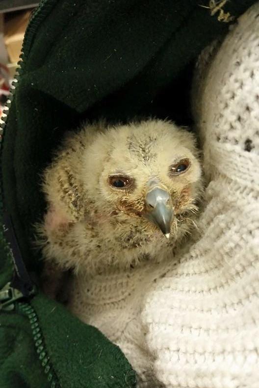 baby snowly owl