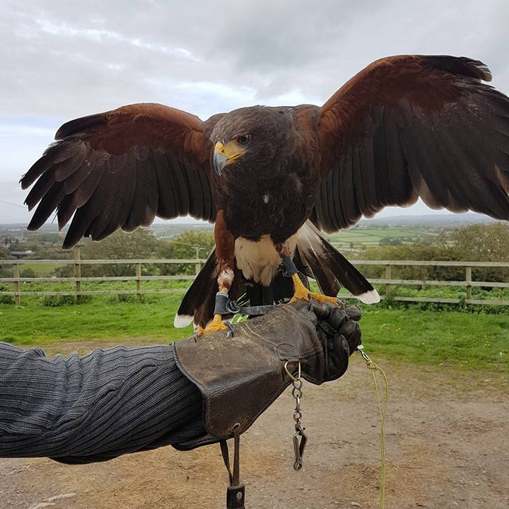 Lady  - One of our beautiful Harris Hawks