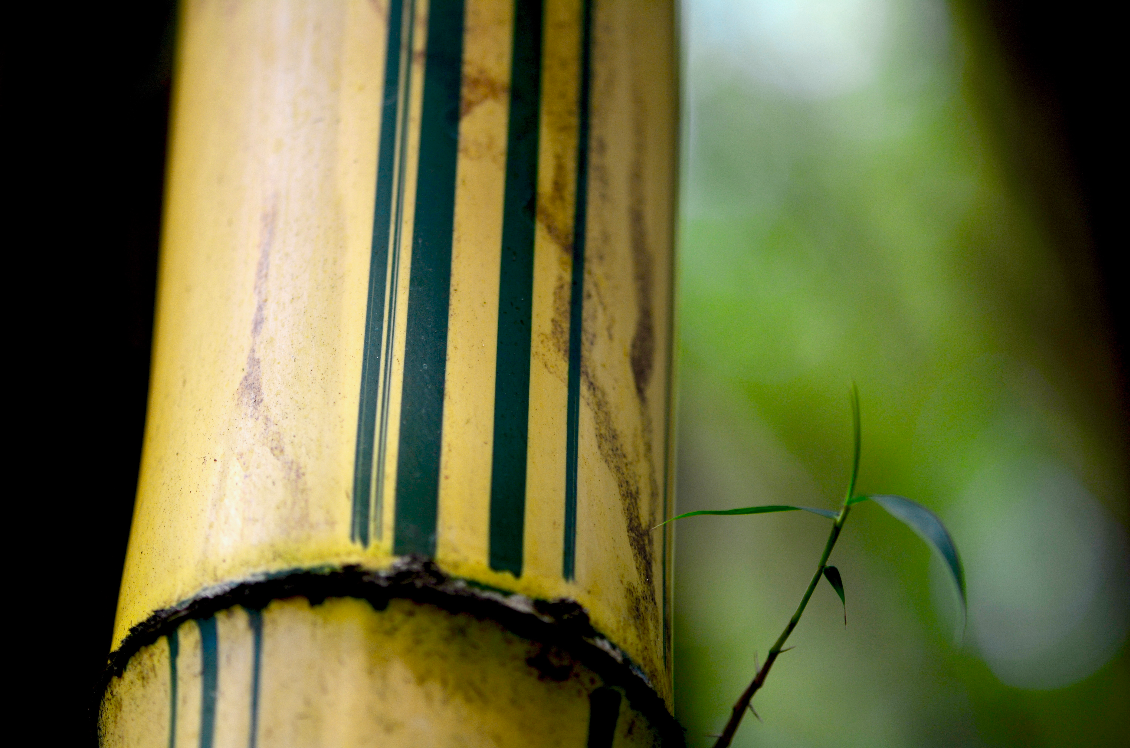 Yellow Bamboo (a.k.a. Painted Bamboo) is a common bamboo in Ghana.
