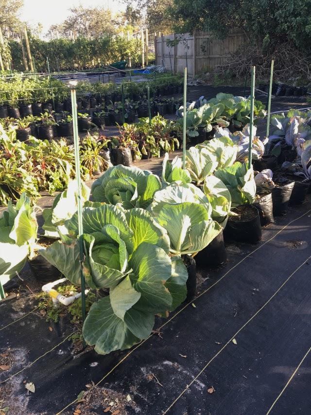 Ground Floor Farm cabbage