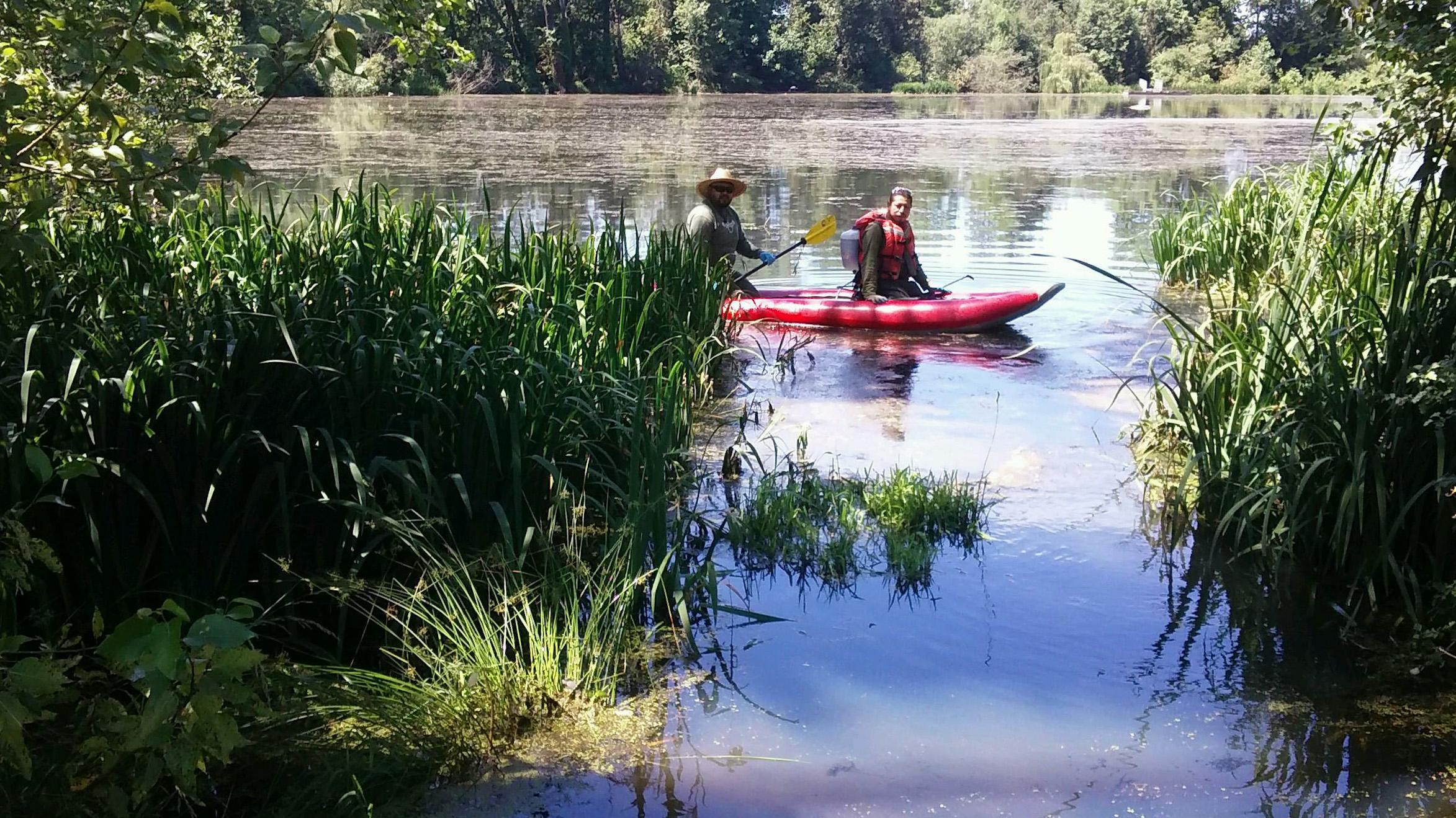 Crew members Mateo and Gedioni treat yellow flag iris at Whitaker Ponds and Columbia Slough.