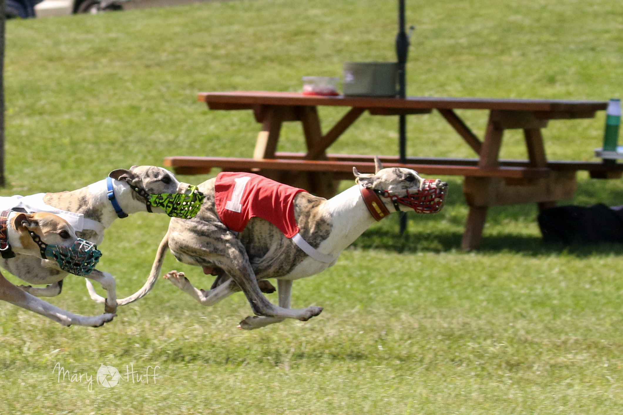 Whippet Events - conduct sanctioned matches, specialty shows, obedience trials, lure trials, and race meets