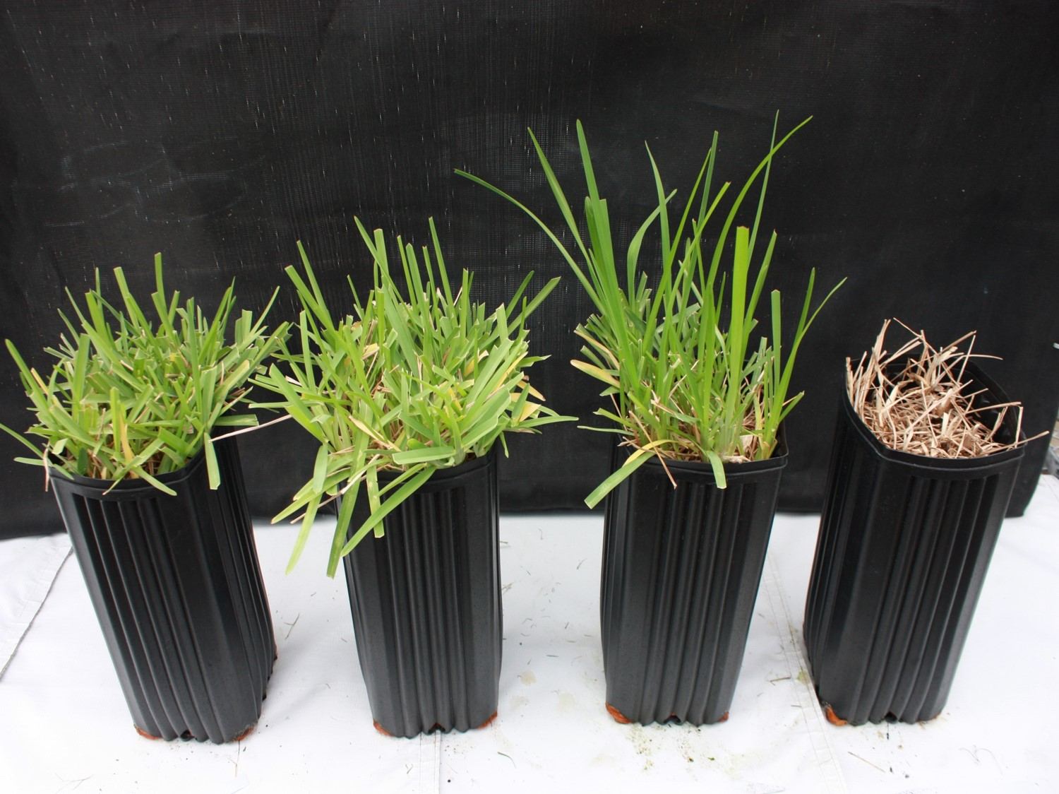 These four pots contain St. Augustinegrass, shown after a week of growth under 0, 30, 60, and 90% shade.