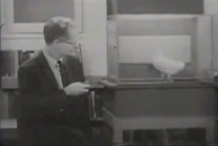 B.F. Skinner conducting his variable ratio experiement on pigeons